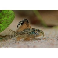 Брохис изумрудный (Brochis splendens) - 2-2,5см