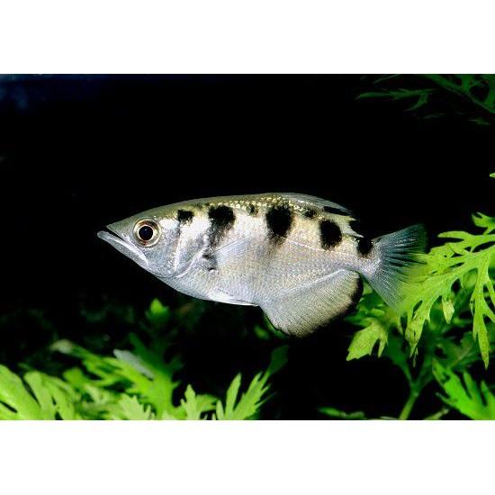 Фото Брызгун пресноводный (Toxotes Microlepis) - 5,5-6см labeo.com.ua