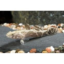 Бычек мраморный (Oxyeleotris marmorata) - 5см