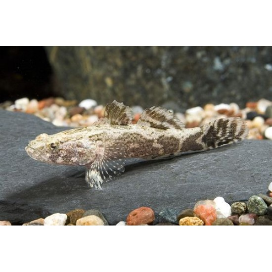 Фото Бычек мраморный (Oxyeleotris marmorata) - 5см Смотреть
