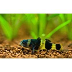 Бычёк пчёлка пресноводный (Brachygobius doriae) - 1,5-2см