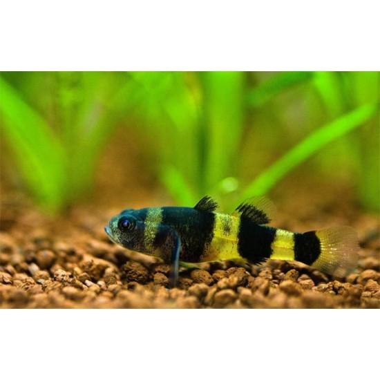 Фото Бычёк пчёлка пресноводный (Brachygobius doriae) - 1,5-2см Смотреть
