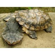 Черепаха Мата мата амазонка (Mata mata) - 12см