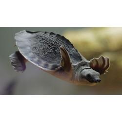 Черепаха трионикс (Trionyx triunguis) - 3,5-4см