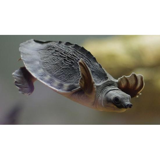 Фото Черепаха трионикс (Trionyx triunguis) - 4-5см Смотреть