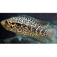 Цихлазома манагуанская (Parachromis managuensis) - 4см