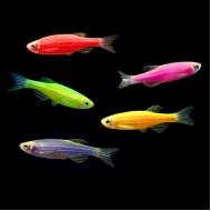 Данио GloFish (Brachydanio rerio) - 2-3см 7цветов