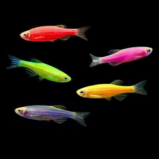 Фото Данио GloFish (Brachydanio rerio) - 2-3см 7цветов Купить