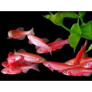 Данио розовый, зеленый, рерио, сине-красный, сиреневый (Danio) - 2-3см