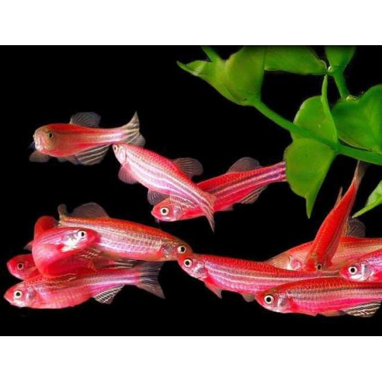 Фото Данио розовый, зеленый, рерио, сине-красный, сиреневый (Danio) - 2-3см Смотреть