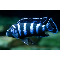 Демасони (PseudotropheusDemasoni) - 5см