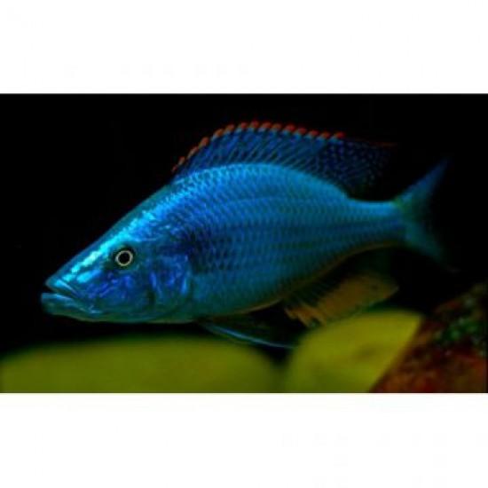 Фото Димидиохромис компрессицепс (Dimidiochromis compressiceps) - 3см Купить