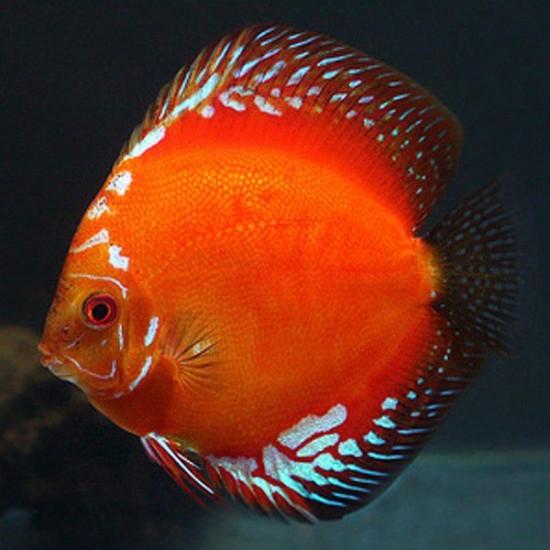 Фото Дискус Мальборо красный (Symphysodon Discus Malboro) - 5см Смотреть