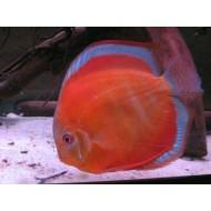 Дискус Сан Мира (Symphysodon Discus San Merah) - 9-10см
