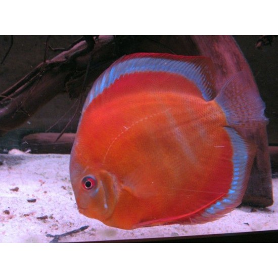 Фото Дискус Сан Мира (Symphysodon Discus San Merah) - 9-10см Смотреть