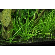 Эхинодорус узколистный (Echinodorus angustifolius)