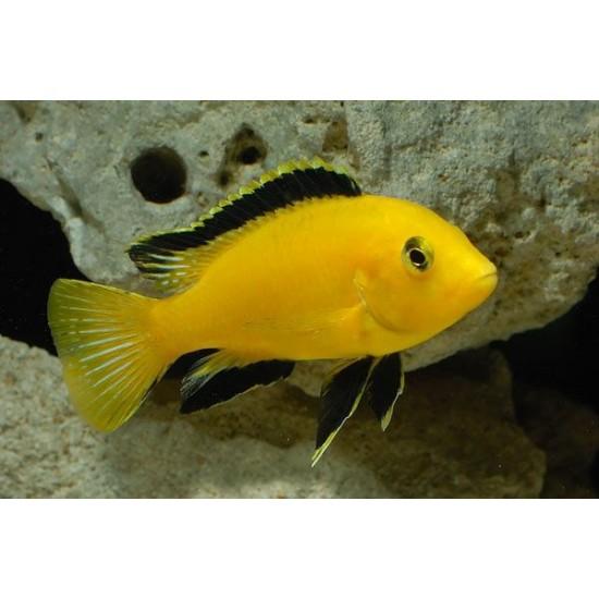 Фото Еллоу (Labidochromis caeruleus Yellow) - 2-3см Смотреть