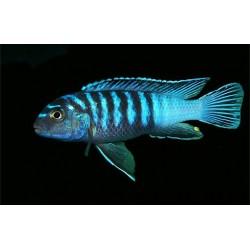 "Елонгатус лухучи ( Pseudotropheus sp.""elongatus luhuchi"") - 2,5-3см"