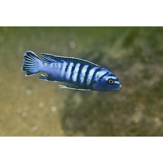 Фото Елонгатус орнатус (Pseudotropheus spec. elongatus ornatus) - 3см Смотреть