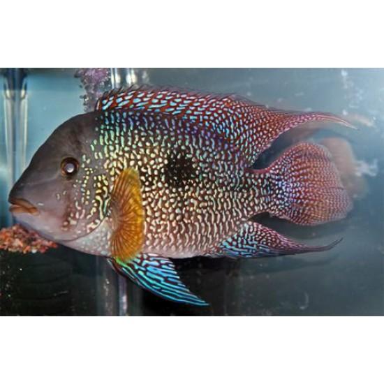 Фото Геофагус красный (Geophagus brasiliensis) - 5-6см Смотреть