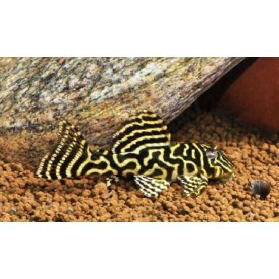 Фото Гипанциструс L340 самцы (Hypancistrus L340) - 6-7см Купить