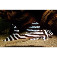 Гипанциструс Зебра 046 (Hypancistrus Zebra L046) - 3,5-4см