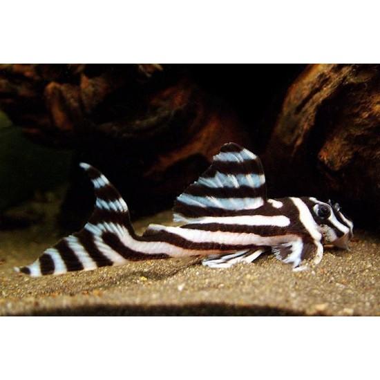 Фото Гипанциструс Зебра 046 (Hypancistrus Zebra L046) - 3см Смотреть