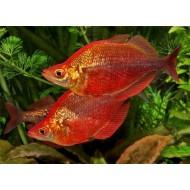Глоссолепис красный (Glossolepisincisus) - 6-7см