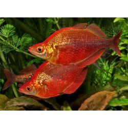 Глоссолепис красный (Glossolepisincisus) - 4-4,5см