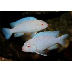 Грешаки альбинос (Pseudotropheus greshakei albino) - 4см
