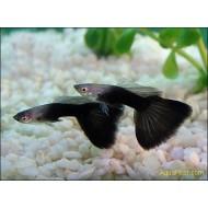 Гуппи черный принц (Poecilia reticulata) - 2,5-3см