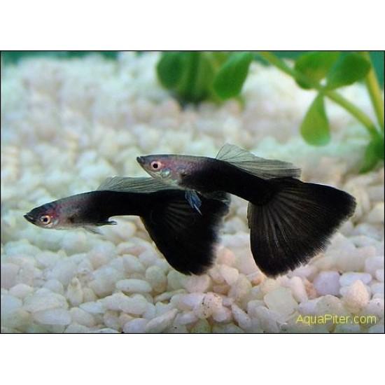 Фото Гуппи черный принц (Poecilia reticulata) - 2,5-3см labeo.com.ua