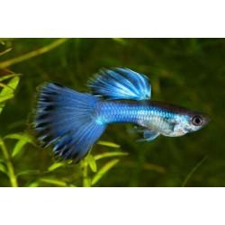 Гуппи синий металлик (Poecilia reticulata) - 2-3см