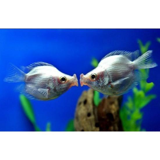 Фото Гурами целующийся розовый дисковый (Helostoma temminckii) - 3см Купить