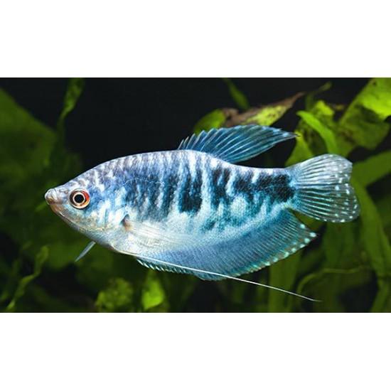 Фото Гурами мраморный (Trichogaster trichopterus) - 3-4см Купить