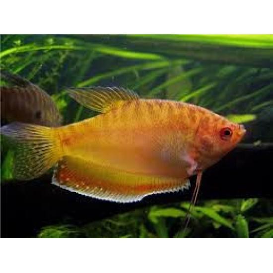 Фото Гурами желтый (Trichogaster trichopterus) - 3,5-4см Смотреть