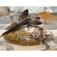 Илистый прыгун (Periophthalmus) - 7см