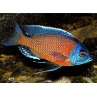 Каданго (Haplochromis borleyi) - 3см