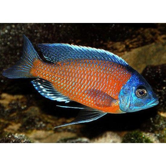 Фото Каданго (Haplochromis borleyi) - 3см Смотреть