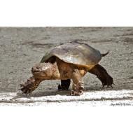 Каймановая черепаха (Chelydra serpentina) - 26-28см