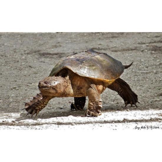 Фото Каймановая черепаха (Chelydra serpentina) - 26-28см Смотреть