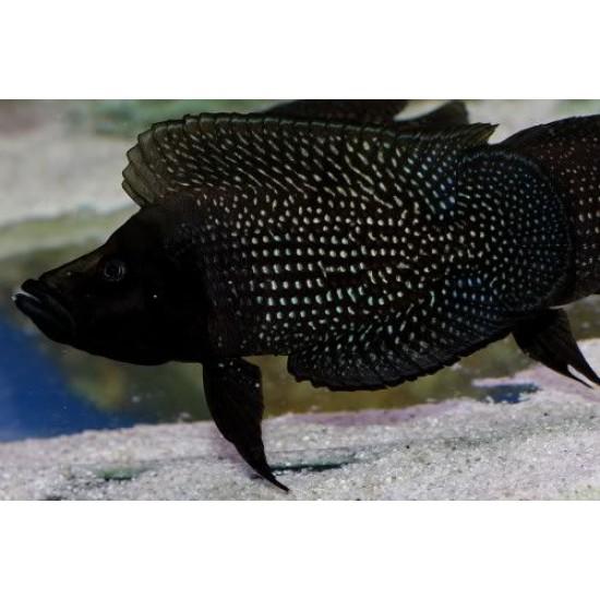 """Фото Кальвус черный (Altolamprologus calvus """"black"""") - 3-4см Смотреть"""