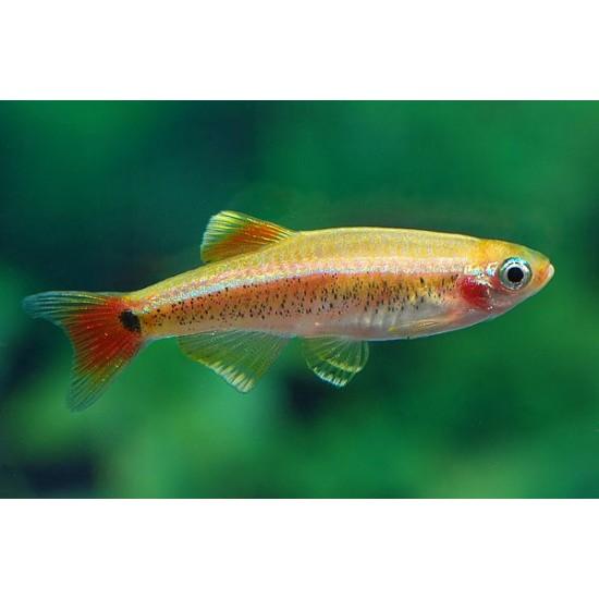 Фото Кардинал золотой (Tanichthys albonubes) - 2-3см labeo.com.ua