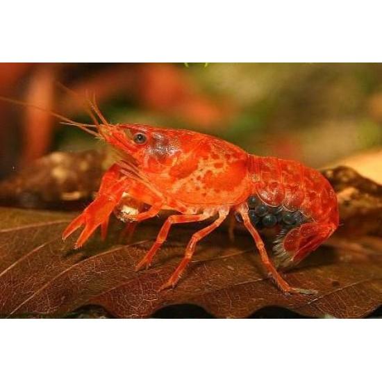 Фото Карликовый мексиканский рак (Cambarellus patzcuarensis var. Orange) - 1-1,5см Смотреть