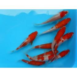Карп кои красно-белый, Импорт (Cyprinus carpio koi) - 8см