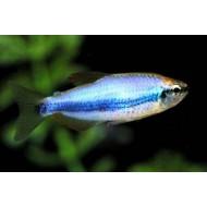 Керри синяя (Inpaichthys kerri super blue) - 2-2,5см