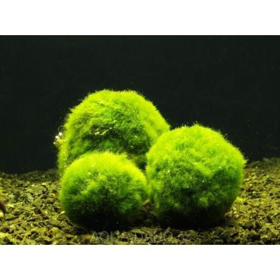 Фото Кладофора (Cladophora aegagrophila) - 3-3,5см Купить