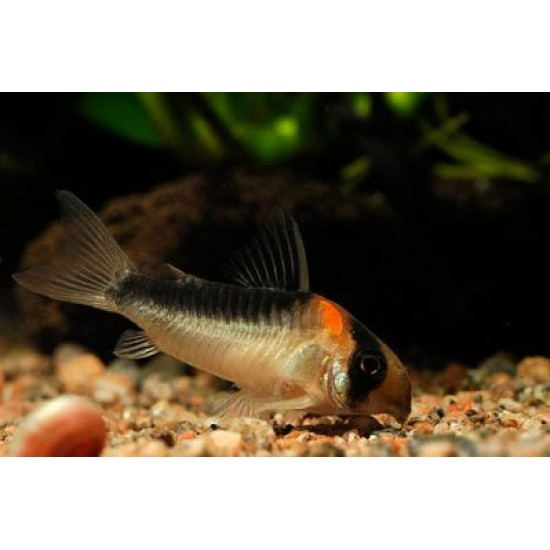 Фото Коридорас дупликареус (Corydoras duplicareus) - 2-2,5см labeo.com.ua