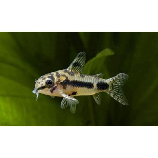 Фото Коридорас хаброзус (Corydoras habrosus) - 1,5см labeo.com.ua