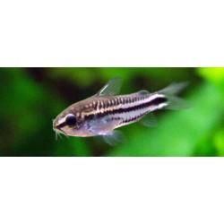 Коридорас пигмей (Corydoras pygmaeus) - 1-1.5см